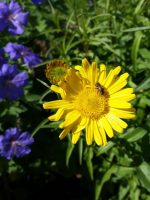 Wildbiene an Buphthalmum salicifolium – Ochsenauge