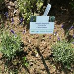 "Lavandula angustifolia 'Hidcote Blue"", Gartenlavendel"