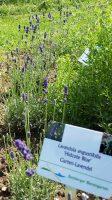 Lavandula angustifolia 'Hidcote Blue', Gartenlavendel