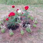 Strauchrose, ADR-Rose 'Roter Korsar'