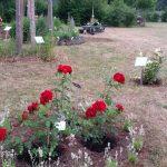 vorne: Strauchrose, ADR-Rose 'Roter Korsar' hinten: David-Austin-Rose / Englische Rose 'The Lark Ascending' (Ausursula)