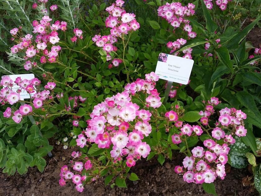 Strauchrose Rosa Mozart