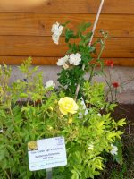 """Rose """"Golden Age"""" an der Bienen-InfoWabe"""