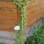 "Ramblerrose ""Perennial Blue"" an der Bienen-InfoWabe (Bezugsquelle: Jeannette Frank, Galarosa)"