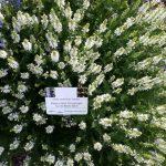 Salvia nemorosa 'Adrian' (Steppen-Salbei)