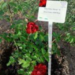 "Rose ""Roter Korsar"" im Bamberger Bienengarten"