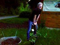 """Reinhold beim abendlichen Einpflanzen der Rose """"Fighting Temeraire"""""""