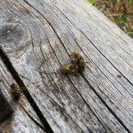 Bienenkampf