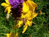 Biene an nadelblättrigem Mädchenauge