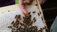 Honig schlecken frisch aus der Wabe