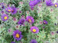 Biene an Rauhblattaster im Schau-Staudenbeet 1