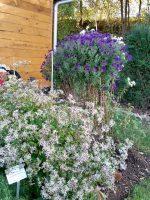 Rauhblattaster, Waldaster im Schau-Staudenbeet 1