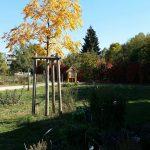 Herbstfärbung der Koelreuteria paniculata (Blasenesche) im Bamberger Bienengarten am Bienenweg 1