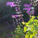 Biene an Ziersalbei, Schau-Grabanlage