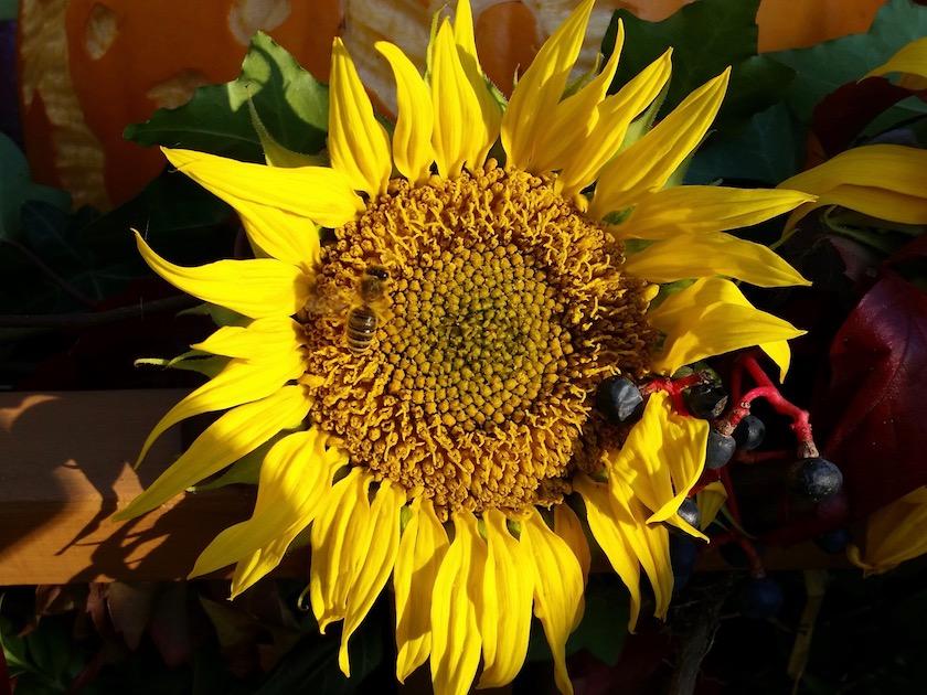 Biene an Sonnenblume