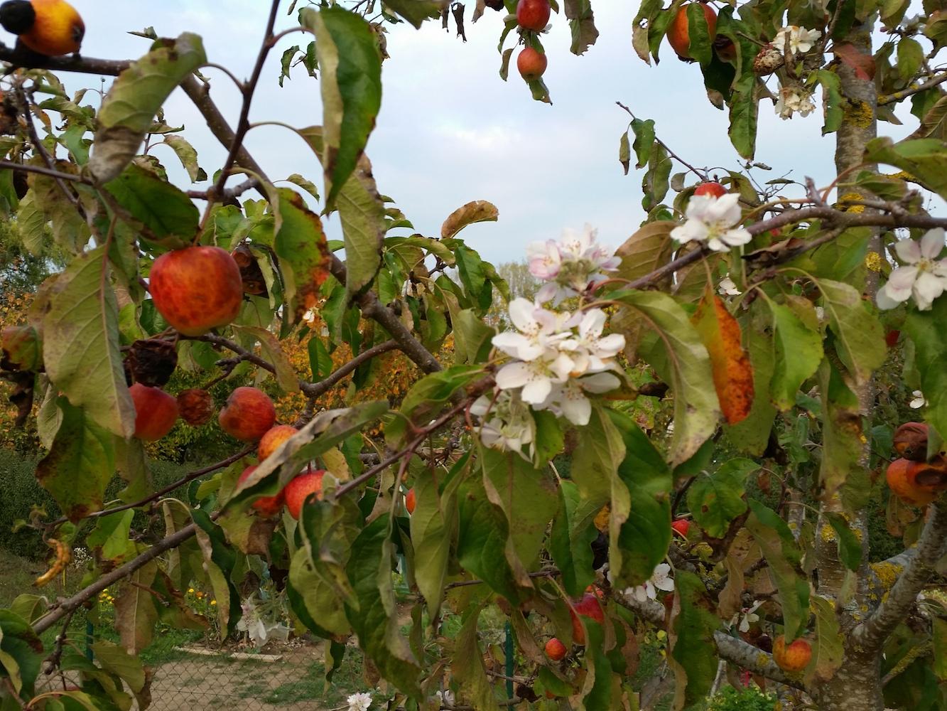 Früchte tragender Apfelbaum in voller Blüte, 19.10.2018