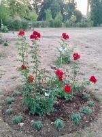 Roter Korsar im Bamberger Bienengarten