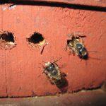 Mauerbienen © Franz Proksch