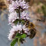 Honigbienen und Wildbiene an Agastache rugosa 'Blue Fortune' (Korea-Minze)