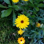 Calendula officinalis, Ringelblume