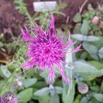 Centaurea scabiosa Skabiosen – Flockenblume