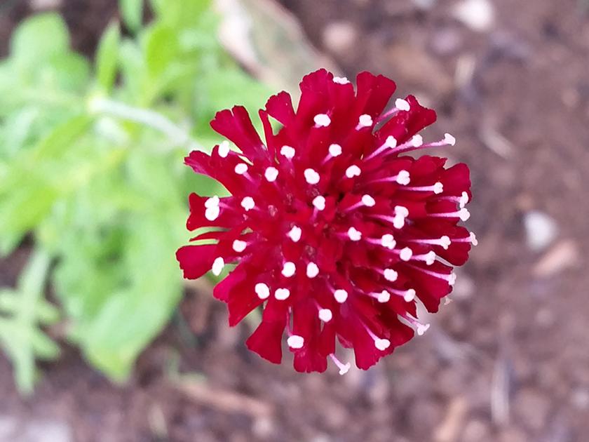 Knautia macedonica Mars Midget – Rote Witwenblume