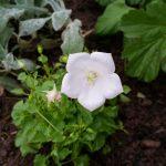Campanula carpatica – Karpaten Glockenblume weiss