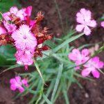Dianthus carthusianorum – Karthäuser-Nelke