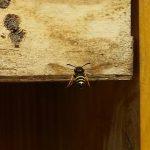 Grabwespe nutzt Wildbienenhotel