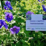 Geranium x pratense Rozanne – Storchschnabel