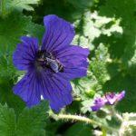 Biene an Storchschnabel (Geranium x pratense Rozanne)