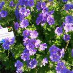 Geranium x magnificum – Pracht-Storchschnabel