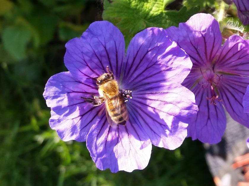 Biene an Geranium x magnificum – Pracht-Storchschnabel