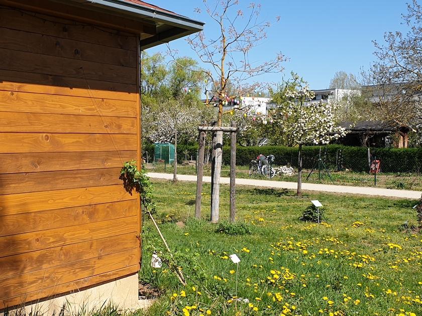 Löwenzahn im Bamberger Bienengarten an der Bienen-InfoWabe