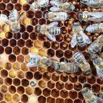 Honigübergabe zweier Arbeitsbienen