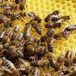 Bienen auf Wabe