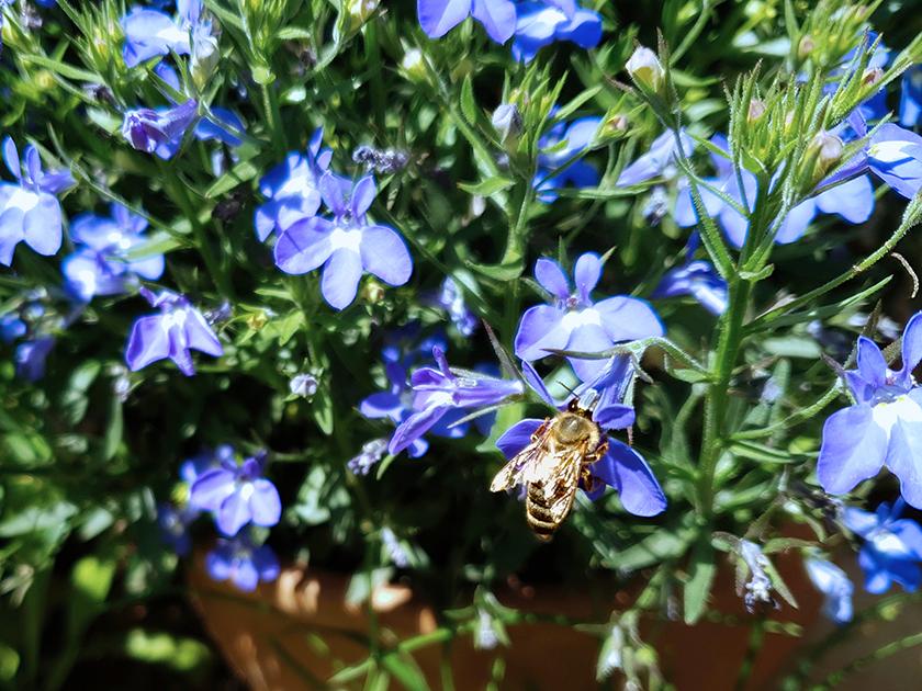 Biene an Lobelie (Männertreu)