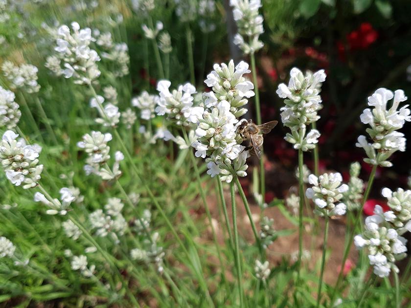 Biene an weißem Lavendel