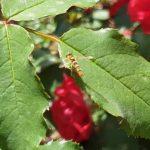 Schwebfliege, Syrphidae