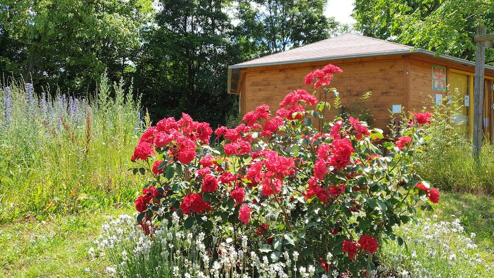 Roter Korsar und weißer Lavendel an der Bienen-InfoWabe