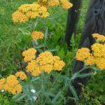 Schafgarbe, Achillea millefolium Hybrid Terracotta