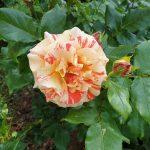 Rosen im Bamberger Bienengarten