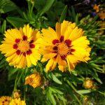 Coreopsis grandiflora-Großblumiges Mädchenauge