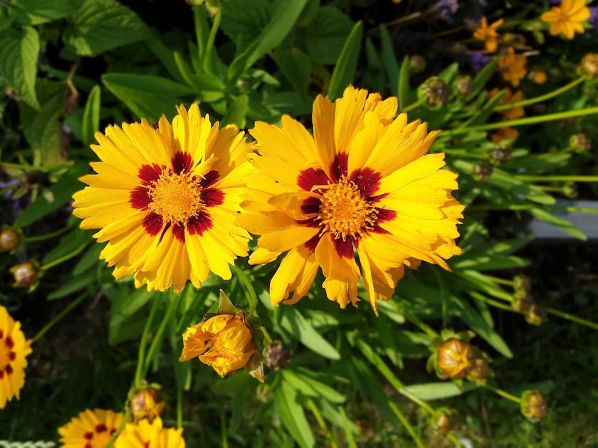 Großblumiges Mädchenauge (Coreopsis grandiflora) 'Sonnenkind'
