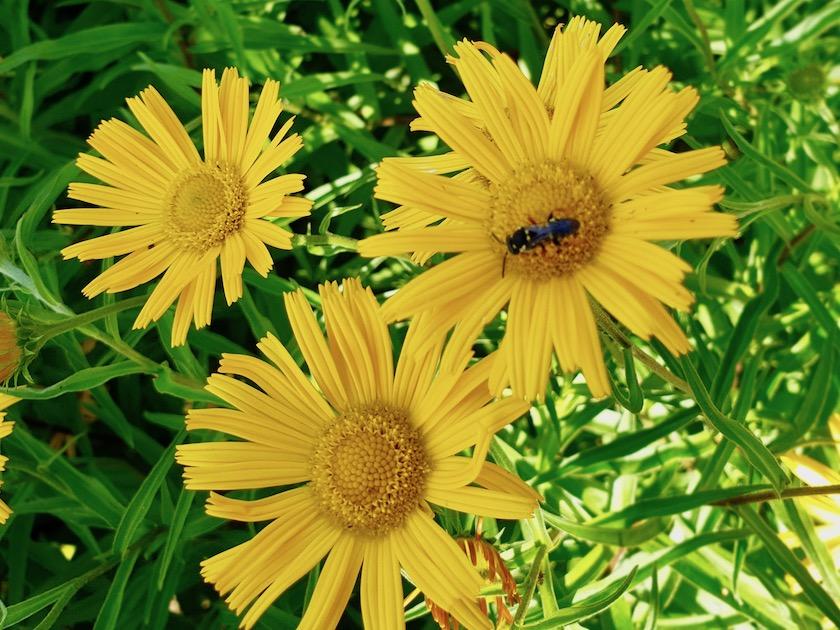 Insekt an Ochsenauge, Buphthalmum salicifolium