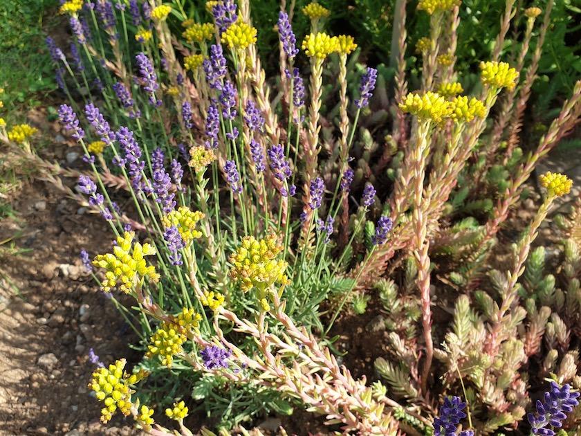 Tripmadam, Sedum reflexum mit Lavendel