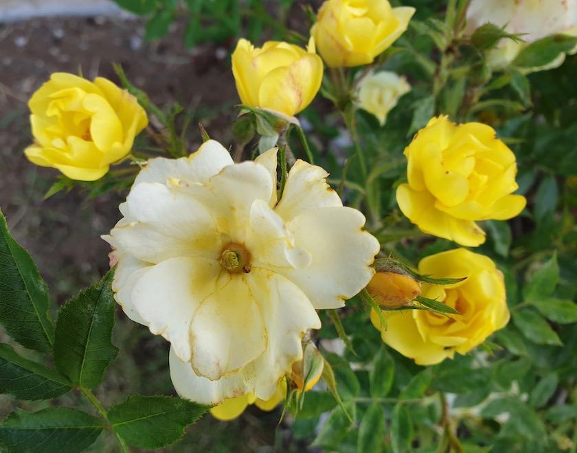 Ramblerrose Golden Age
