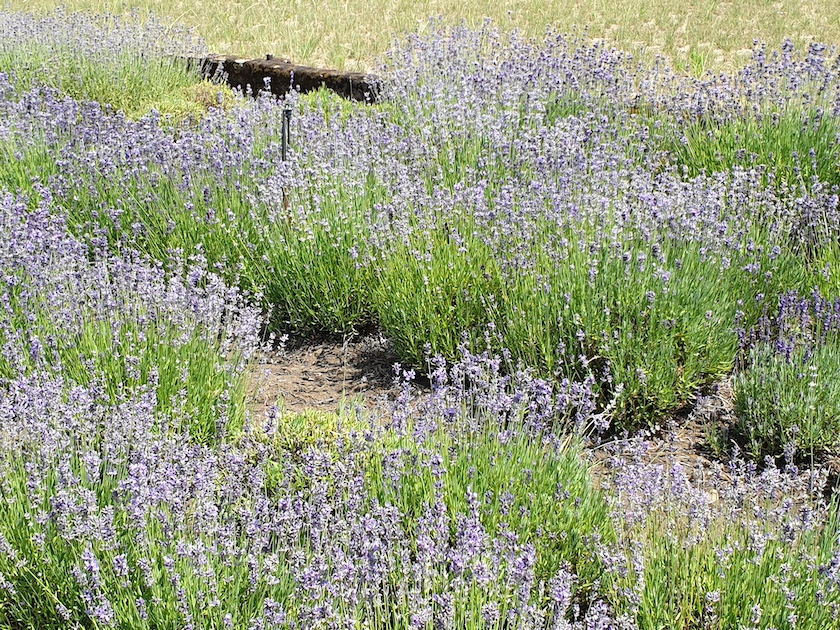 Lavendelfeld im Mussärol