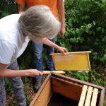 Lis fegt Bienen von Honigwabe