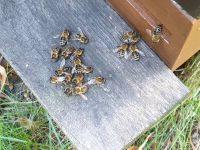 Bienen von Marcos Patenvolk